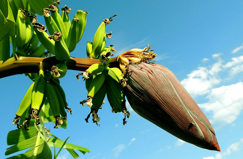 Bananas: Health Benefits