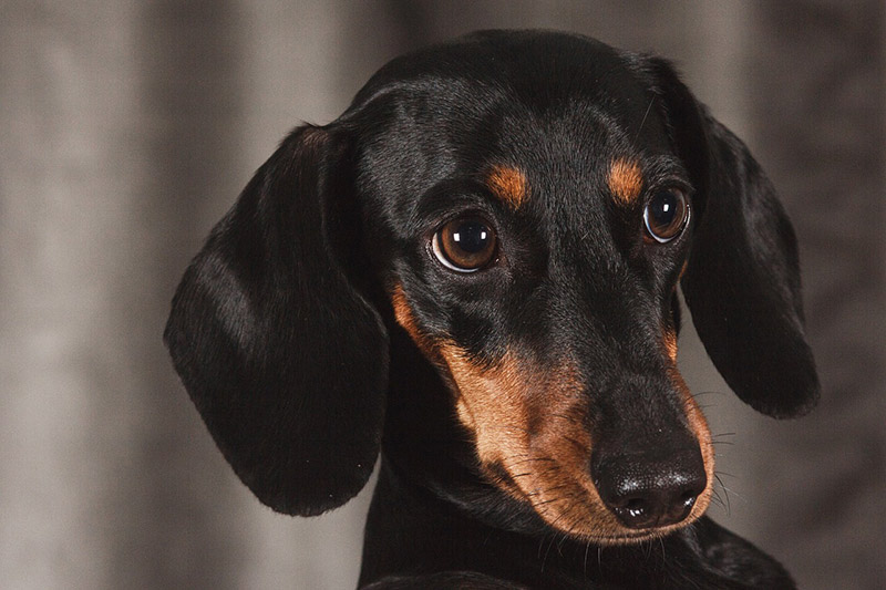 Dachshund Dog – Breed Information
