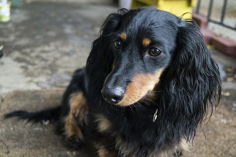 Dachshund Dog – Breed Information