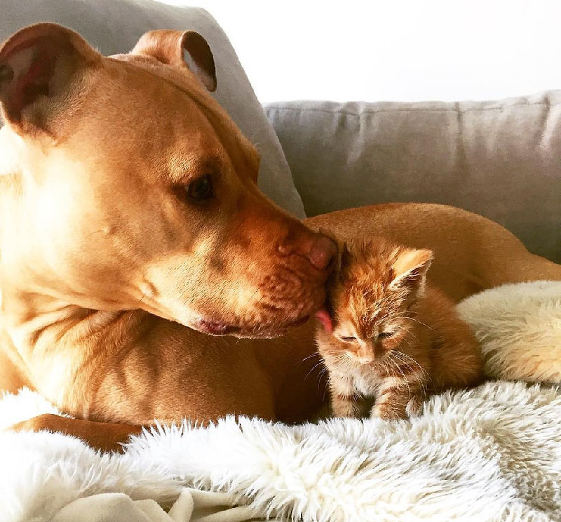 Rescue Pit Bull Gets His Own Kitty