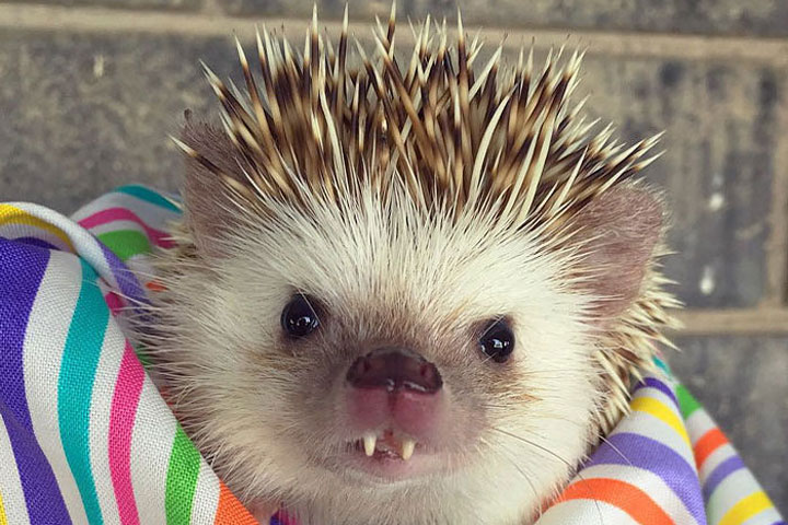 This 'Vampire' Hedgehog Is Instagram's Newest Star
