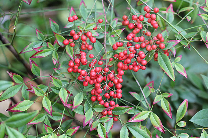 Heavenly Bamboo - Nandina domestica