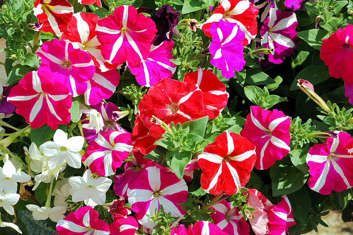 Add Colors In Your Garden - Grow Petunias