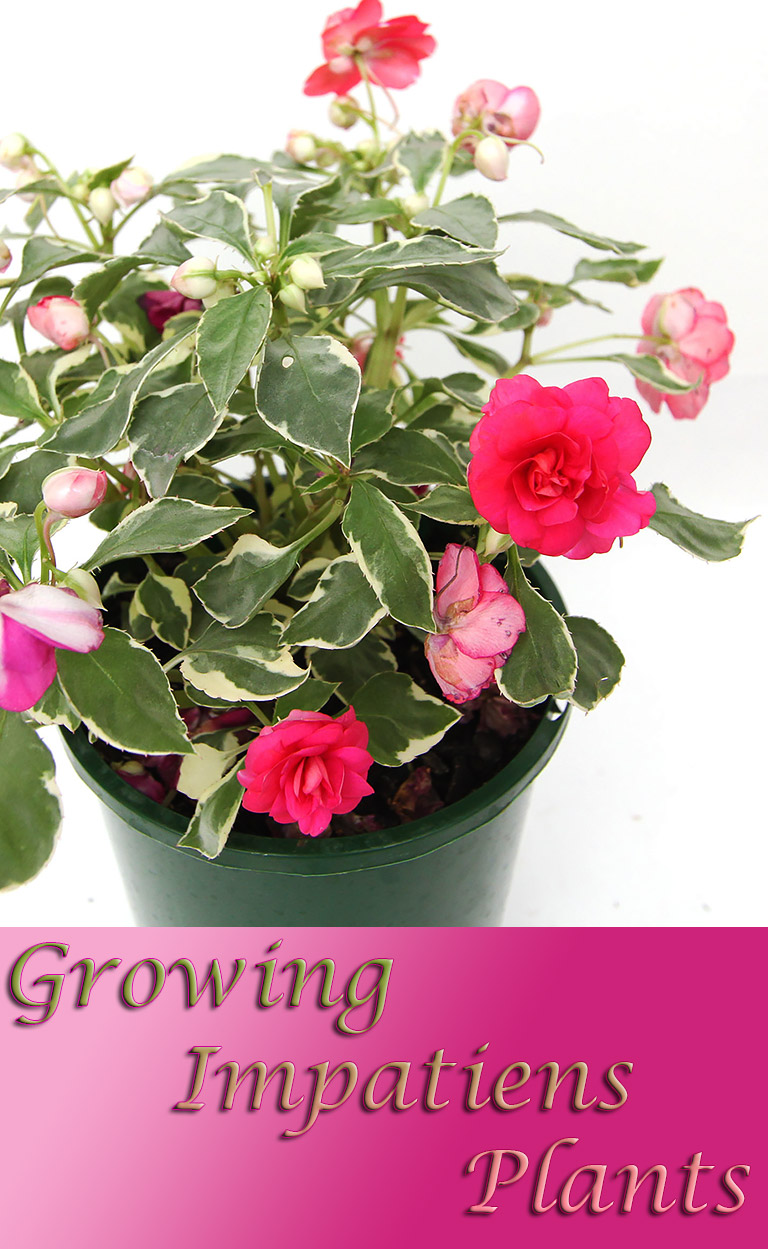 Growing Impatiens Plants