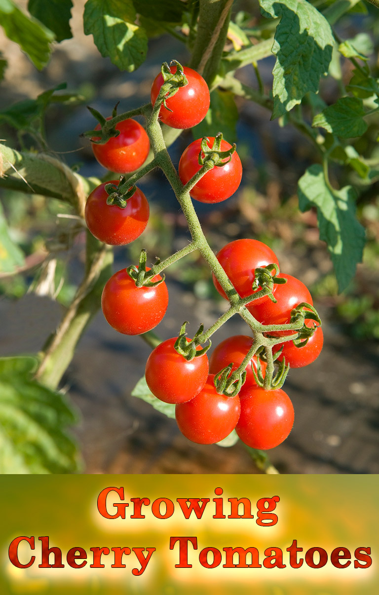 Cherry Tomatoes - Growing Guide