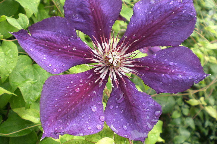 Myths About Clematis