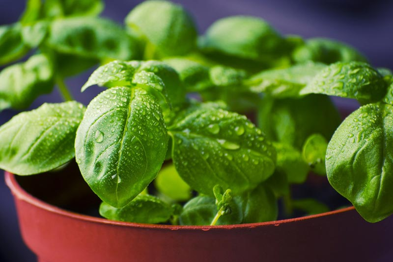 Amazing Benefits of Basil Seeds