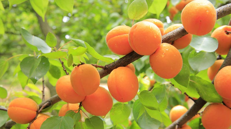 Apricots - Health Benefits