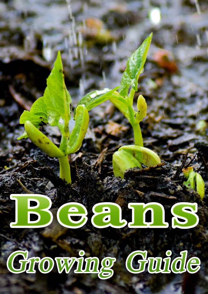Beans – Growing Guide