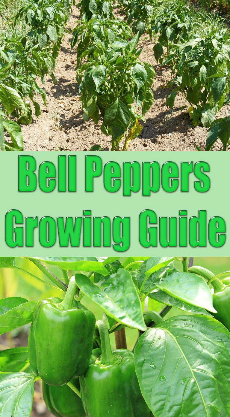 Pepper Production (Bell, Small Fruit, and Pimento) | NC ...