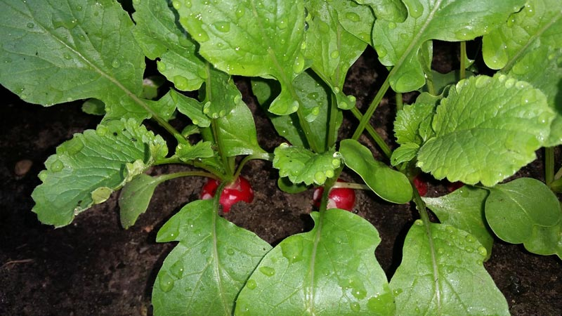 Tips for Beginner Companion Planting
