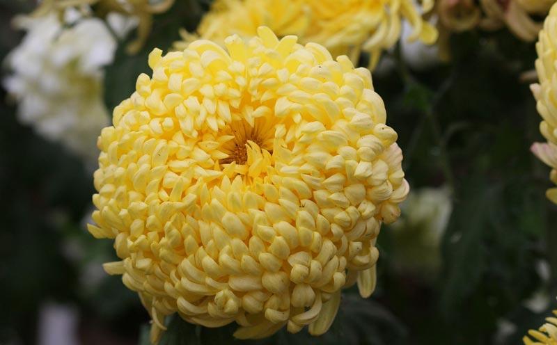 Chrysanthemums in Your Garden
