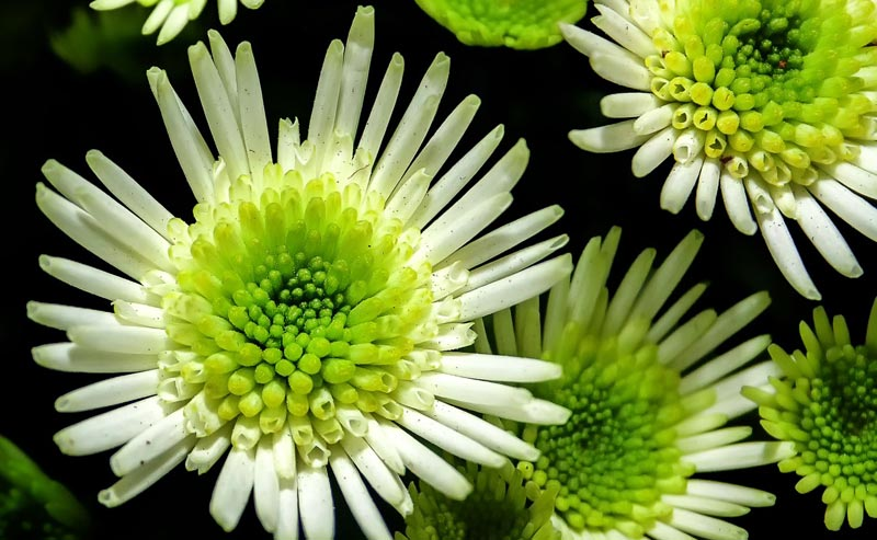 Chrysanthemums in Your Garden