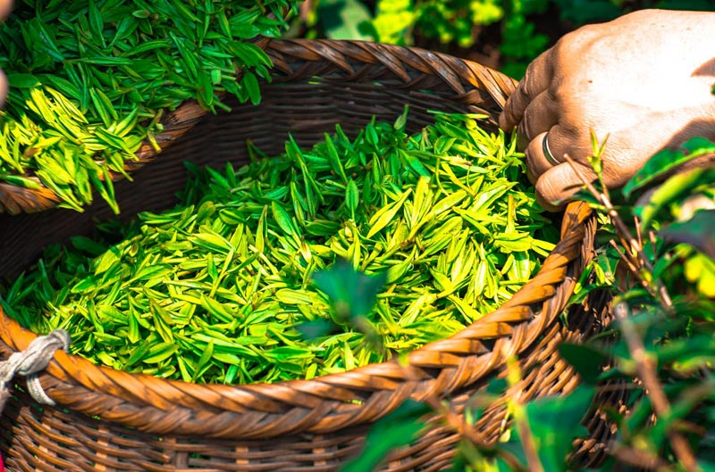 Green Tea for Health and Beauty