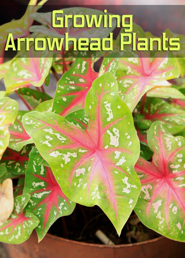 Growing Arrowhead Plants