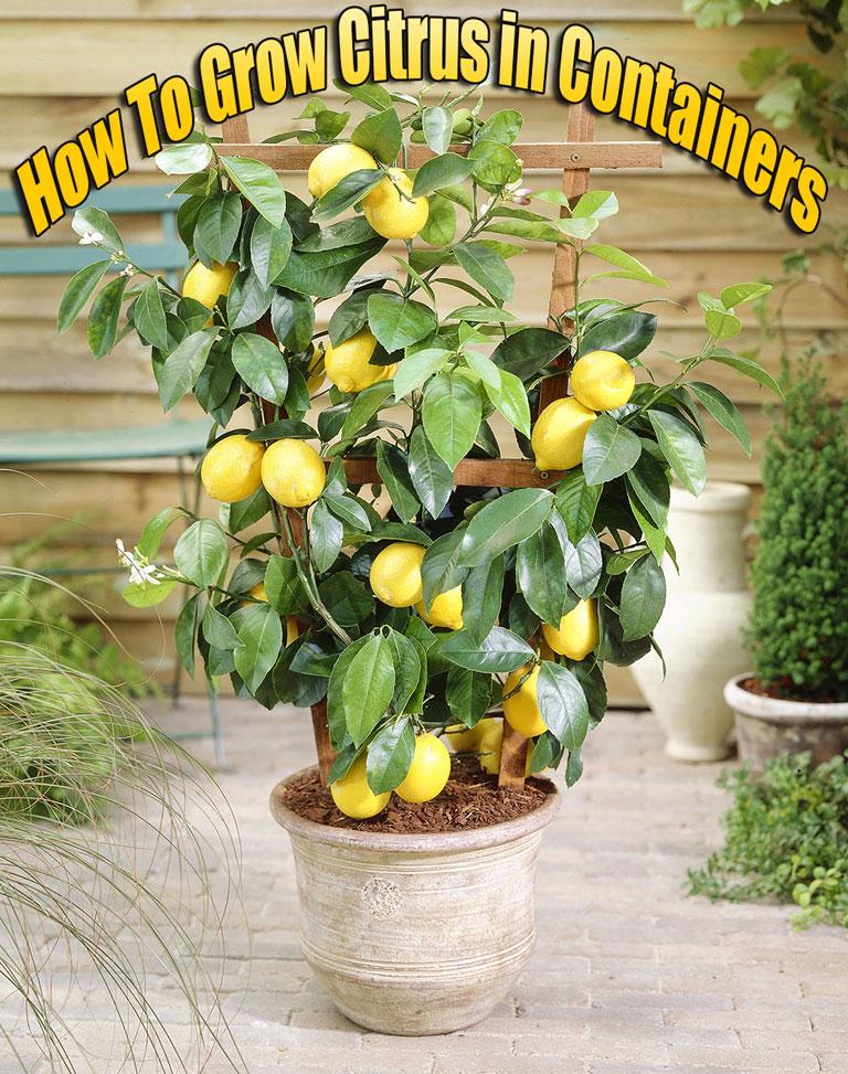 How To Grow Citrus In Containers Quiet Corner