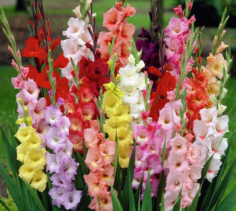 How To Grow Gladiolus In Your Garden