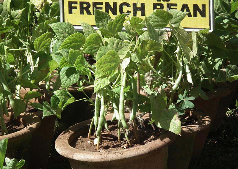 How to Grow French Beans From Seed