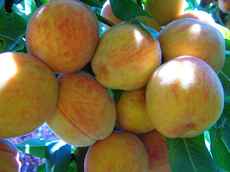 How to Grow Peaches and Nectarines in a Pot