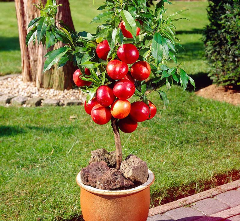 Quiet Corner Container Gardening Ideas: Quiet Corner:Growing Fruits In Containers