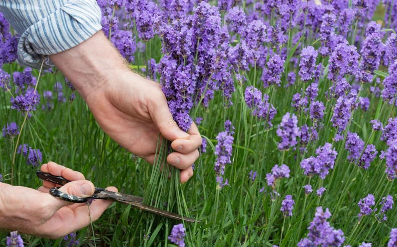 Quiet Corner Enjoy Growing Your Own Lavender With These Tips