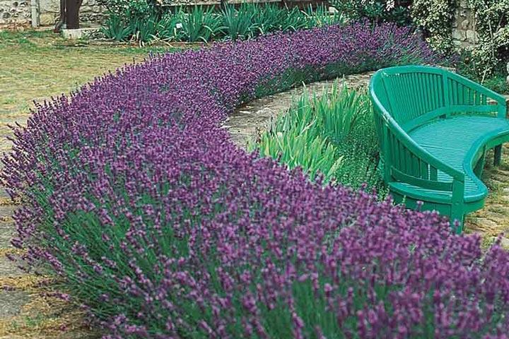 Lavender hedge create and care quiet corner for Easy to care for outdoor flowering plants