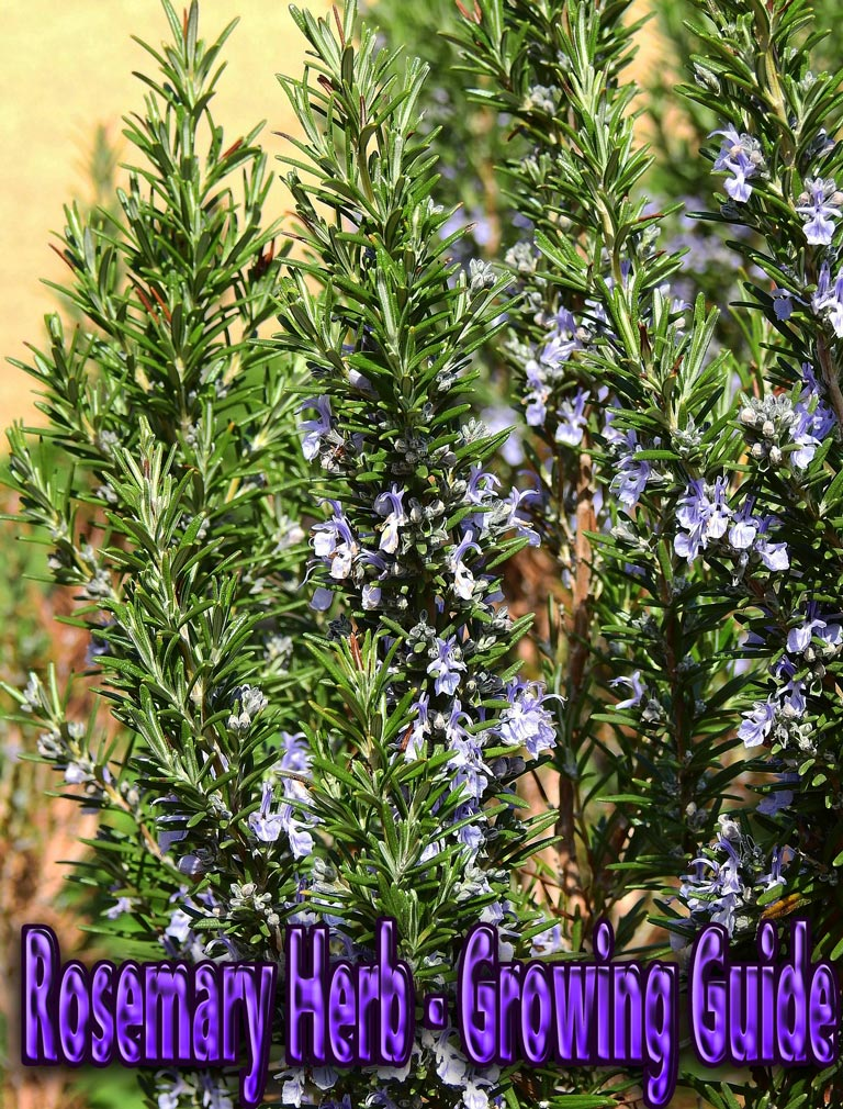 Rosemary Herb – Growing Guide