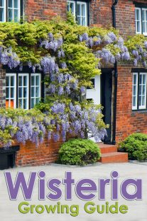 Wisteria Growing Guide