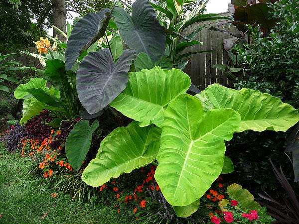 About Elephant Ear Plants