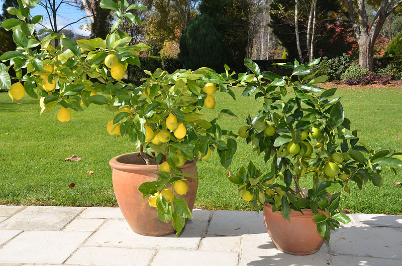How To Grow Citrus in Containers