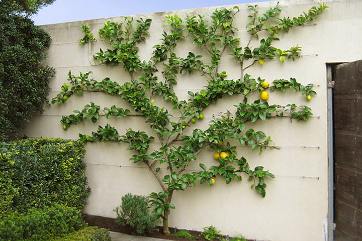 Spice Your Backyard – Espalier