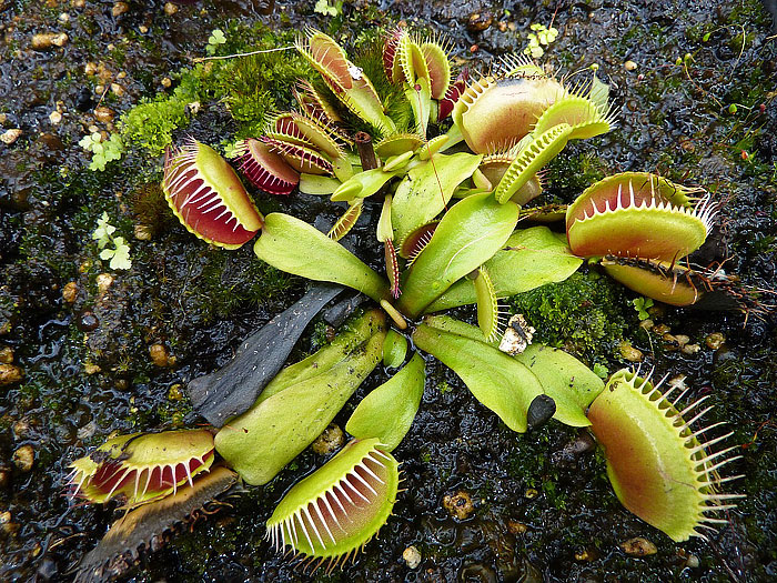 About Carnivorous Plants