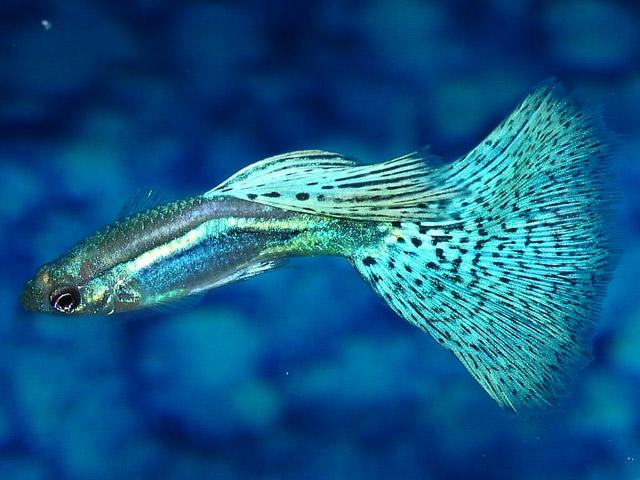 Guppy - Millions Fish - Quiet Corner