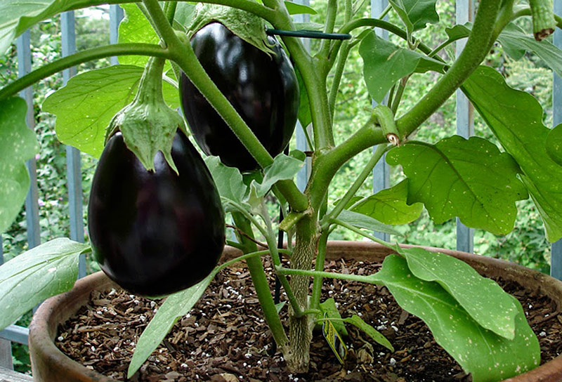 how to grow eggplants in a garden