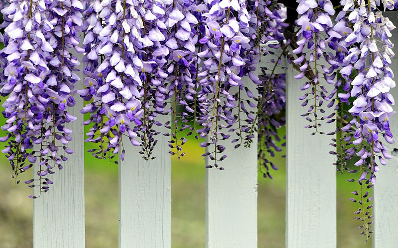 High Climbers - Wisteria Growing Guide
