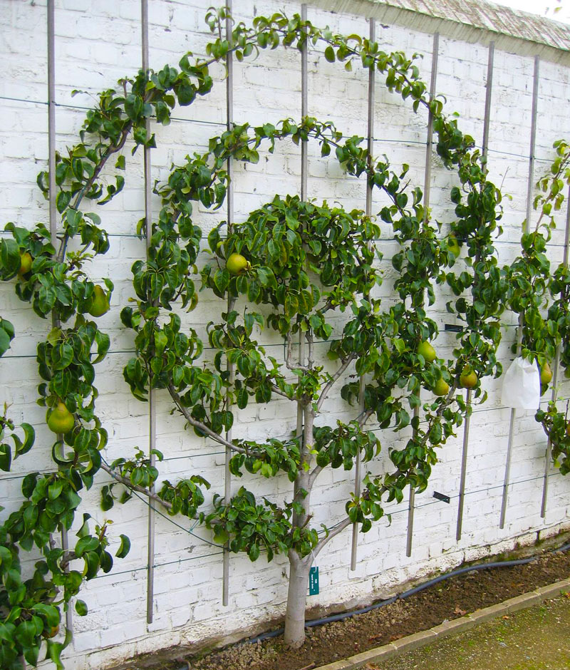 Spice Your Backyard - Espalier