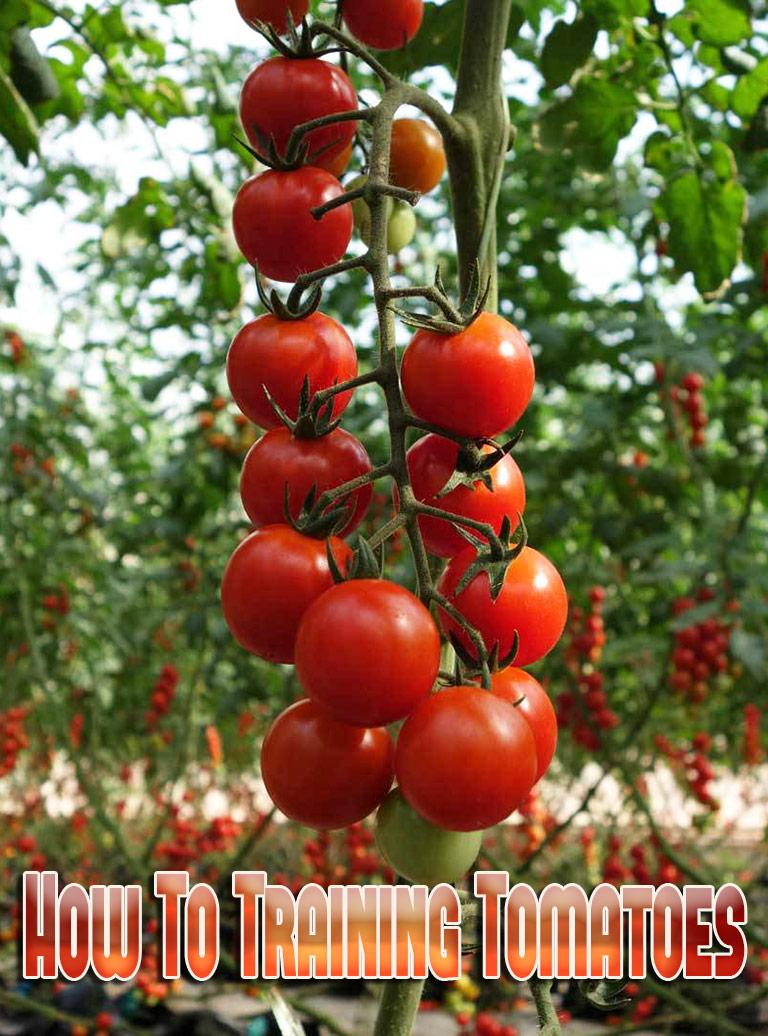 Gardening How To: Training Tomatoes