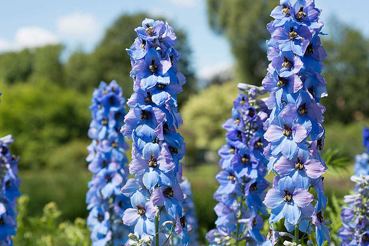 Beautiful Delphiniums – How to Grow