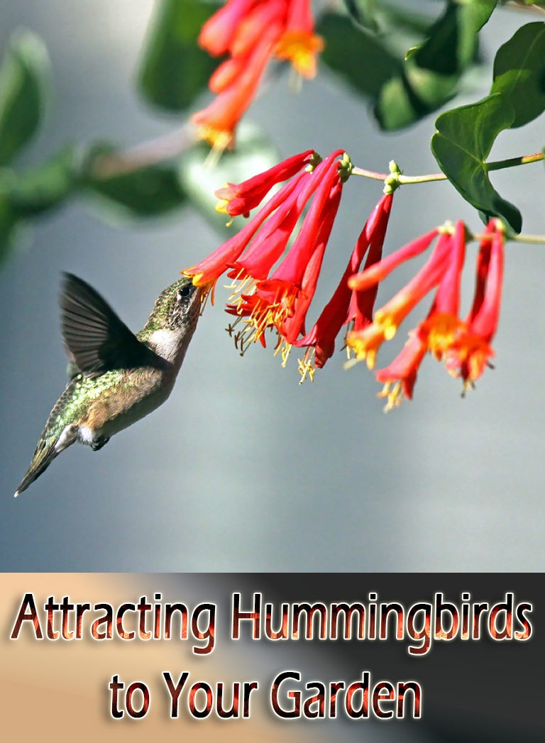 Attracting Hummingbirds to Your Garden