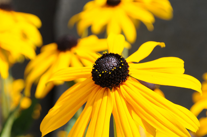 Black-eyed Susans - Growing Guide