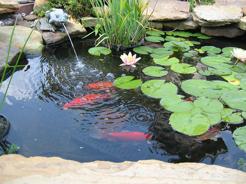 Backyard Pond Fish Backyard Design