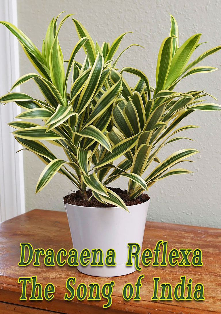 Dracaena Reflexa - The Song of India
