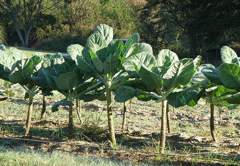 Collards - Growing Guide