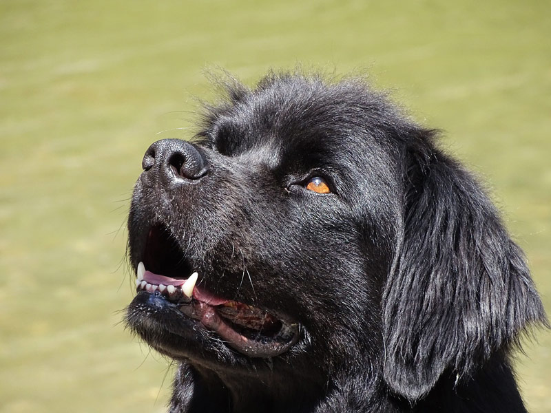 Newfoundland Dogs - Breed Info