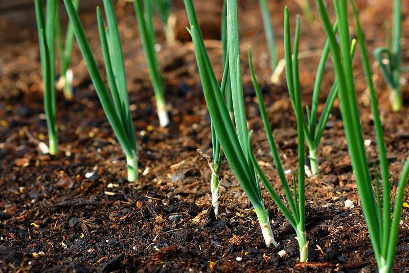 How To Grow Scallions