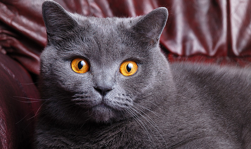 British Shorthair Cat - Breed Info