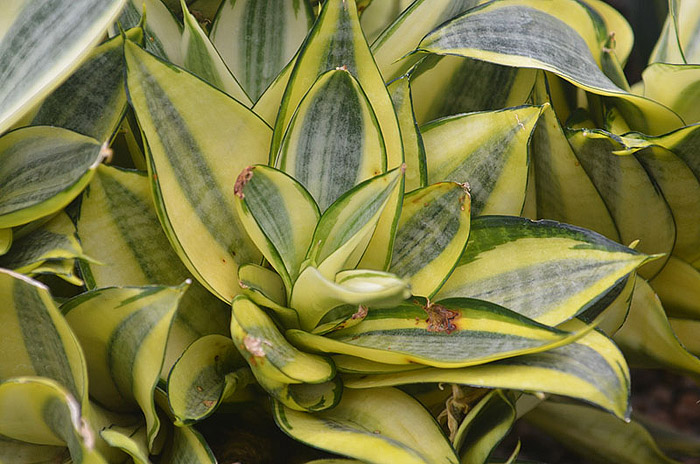 Snake Plant - Perfect Houselant