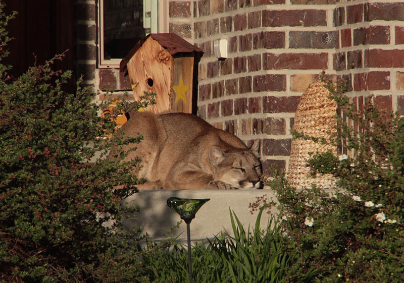 Mountain Lion Found Napping on Front Porch