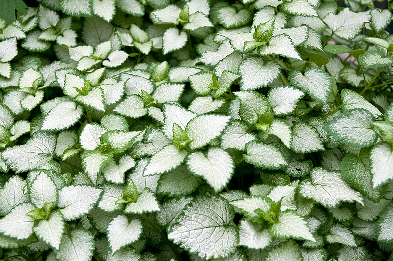 Dead Nettle - Growing Guide