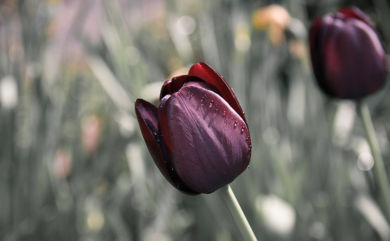 Tulips - Growing Guide
